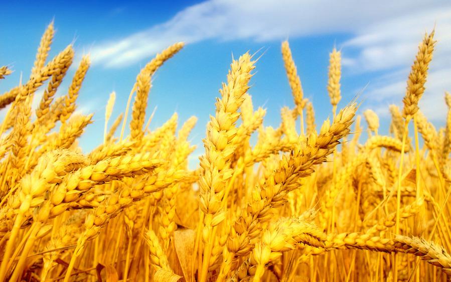 Хлібом і хліборобами славиться наша земля